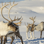 Antlers: caribou and Canada's other deer