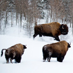 Meet with the Athabascae Bison