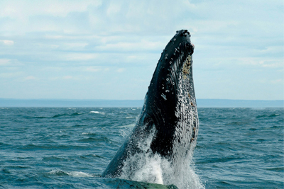 AML Cruises - Grand Fleuve whale cruise, Escape Cruise and helicopter Passport