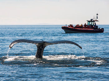 Witness the dance of the whales thanks to Croisières Essipit