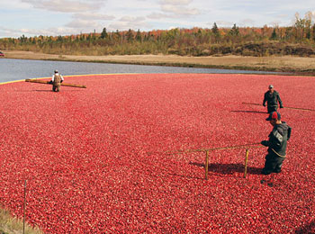 An impressive amount of cranberries is harvested in the area of Victoriaville