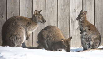 Wallabies at the zoo! photo: Zoo de Granby