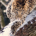 Do Like the Snow Leopards: Enjoy Winter at the Granby Zoo!